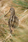 A Magellanic Snipe among the grasses of Carcass Island in the Falklands.