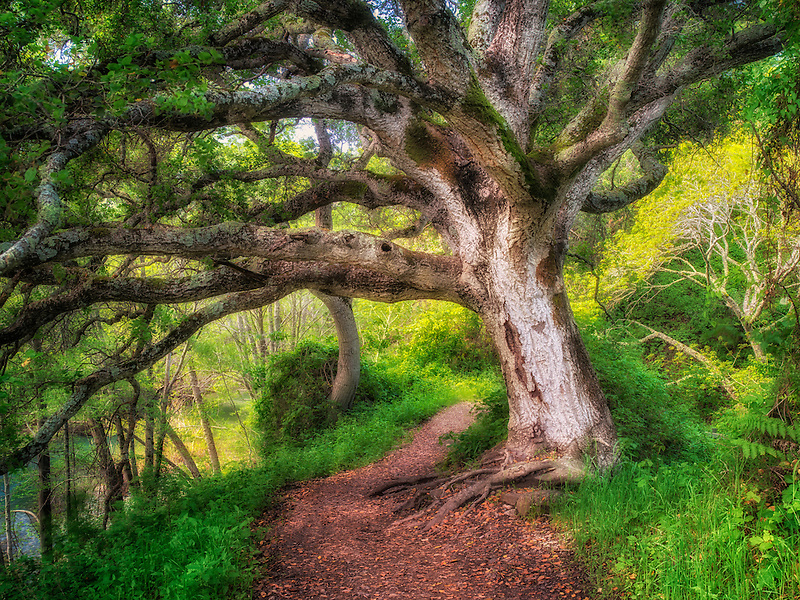 Tree on path. Big Sur Coast, California