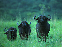 Buffalo in Murcheson Falls National Park in northwestern Uganda. (Rick D'Elia)
