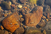 Caddisfly larvae(?) on underwater rocks, Nisqually River, WA.  July.