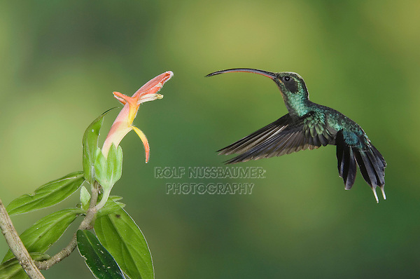 "Green Hermit, Phaethornis guy, male in flight feeding on ""Snakeface"" flower , Central Valley, Costa Rica, Central America, December 2006"