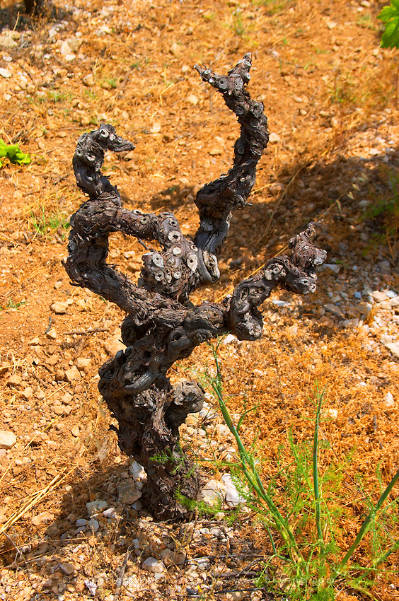 Domaine d'Aupilhac. Montpeyroux. Languedoc. Vines trained in Gobelet pruning. Old, gnarled and twisting vine. Mourvedre grape vine variety. Terroir soil. France. Europe. Vineyard. Sand.