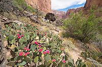 Prickly-pear blooms in Grand Canyon National Park, Arizona, Marble Canyon, Colorado River Opuntia sp.