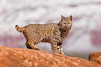 Bobcat standing on top of a red rock with a snow-covered mountain in the background - CA