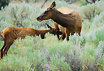 An elk calf tries to nurse in Yellowstone National Park,
