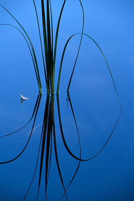 Water plant & feather create a reflective design on Nymph Lake, Rocky Mtn Nat'l Park, CO