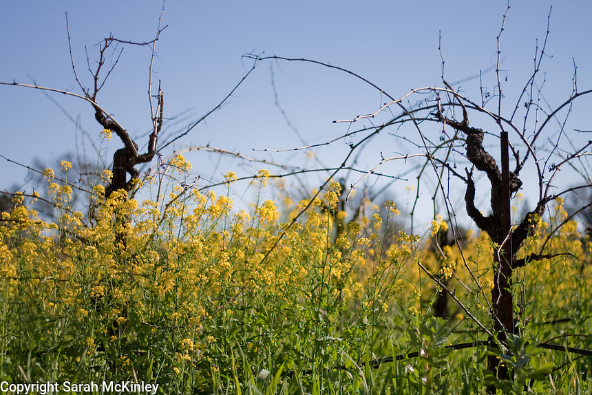 Dark grapevines stand above mustard and against a blue sky at Barra Vineyard and Winery near Ukiah in Mendocino County in Northern California.