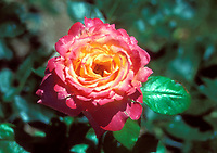 Rosa Broadway rose, pink and yellow single solitary perennial, BURway, 1985 hybrid tea roses