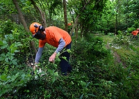 Juan Sierra of AnyTown Tree Service in Rogers, leads a crew Wednesday, May 20, 2020, in removing invasive plant species from Fay Jones Park west of the Fayetteville Public Library. Sierra is a subcontractor for Comprehensive Botanical Services which is coordinating initial site preparation before construction begins to develop the park. The work is part of a larger $31.7 million cultural arts corridor bond issue that includes the conversion of the parking lot west of the Walton Arts Center and improvements to the Razorback Greenway where it makes its way through the area. Visit nwaonline.com/200521Daily/ for today's photo gallery.<br /> (NWA Democrat-Gazette/Andy Shupe)