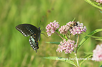 03029-01512 Spicebush Swallowtail (Papilio troilus) on Swamp Milkweed (Asclepias incarnata) Marion Co. IL