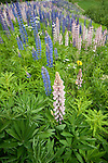 Lupin Flowers, Lupinus polyphyllus, nr Rautalampi, Kuopio, Finland, lupines, purple, white  and pink colours, wide angle