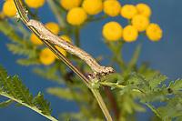 Zackenbindiger Rindenspanner, Raupe frisst an Rainfarn, Pflaumenspanner, Ectropis crepuscularia, Ectropis bistortata, Boarmia bistortata, Engrailed, Small Engrailed, Small Engrailed Moth, hieroglyphic moth, caterpillar, La Boarmie crépusculaire, Boarmie bi-ondulée, Spanner, Geometridae, looper, loopers, geometer moths, geometer moth