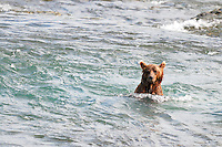 A brown bear looks upriver in search of salmon at the McNeil River Falls,  in Alaska's McNeil River State Game Sanctuary.