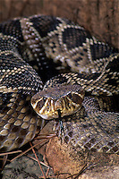 467004012 a captive eastern diamondback rattlesnake crotalus adamanteus llies coiled with its tongue sensing the environment - species is native to the southeastern united states