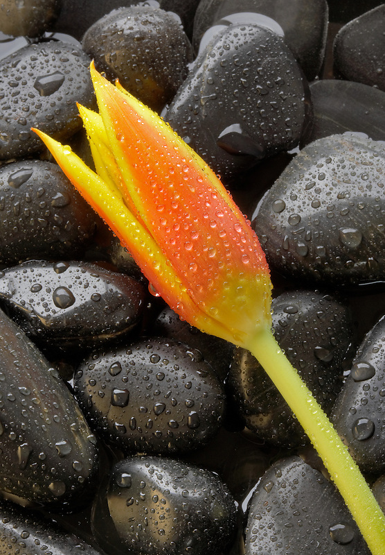 Tulip flower on decorative black rocks with water drops.