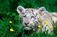 white Bengal tiger, Indian tiger, Panthera tigris tigris, cub