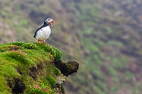 Atlantic puffin, or common puffin, Fratercula arctica, Sumburgh Head, Mainland Island, Shetland, Scotland, Atlantic Ocean