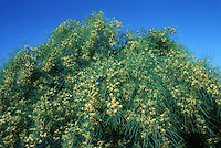 A Palo Verde tree showing yellow flowers. California.