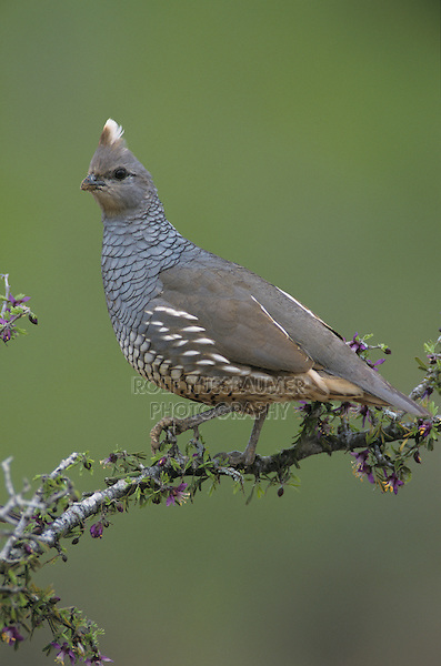 Scaled Quail, Callipepla squamata,adult on blooming Guayacan (Guaiacum angustifolium), Starr County, Rio Grande Valley, Texas, USA
