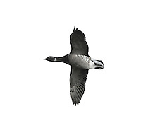 Brent Goose, dark bellied race - Branta bernicla bernicla - in flight. L 56-61cm. Our smallest goose – similar size to Shelduck. Subtle plumage patterns allow separation of two subspecies that winter here: Pale-bellied Brent B.b.hrota (breeds on Svalbard and Greenland) and Dark-bellied Brent B.b.bernicla (breeds in Russia). Seen in sizeable and noisy flocks. In flight, looks dark except for white rear end. All birds have a black bill and black legs. Sexes are similar. Adult Pale-bellied has blackish head, neck and breast; side of neck has narrow band of white feathers. Note neat division between dark breast and pale grey-buff belly. Back is uniform dark brownish grey. Adult Dark-bellied is similar but belly is darker and flanks are paler. Juveniles are similar to respective adults but note pale feather margins on back and absence of white markings on side of neck; white on neck is acquired in New Year. Voice Very vocal, uttering a nasal krrrut. Status Winter visitor to coasts