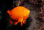 Catalina Island, Channel Islands, California; Garibaldi (Hypsypops rubicundus), male guarding it's nest of eggs , Copyright © Matthew Meier, matthewmeierphoto.com All Rights Reserved