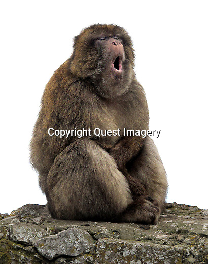 A monkey yawns on the Upper Rock of the Rock of Gibraltar.<br /> <br /> The monkeys (Barbary Macaques) population in Gibraltar is the only one in the whole of the European continent, and, unlike that of North Africa, it is thriving. At present there are some 300 animals in five troupes occupying the area of the Upper Rock, though occasional forays into the town may result in damage to personal property. <br /> <br /> Gibraltar is a British overseas territory located on the southern end of the Iberian Peninsula at the entrance of the Mediterranean. It has an area of 2.6 square miles and a northern border with Andalusia, Spain. <br /> <br /> The Rock of Gibraltar is the major landmark of the region. At its foot is the densely populated city area, home to almost 30,000 Gibraltarians and other nationalities.<br /> photo by Quest Imagery