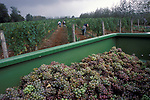'WINE IN ENGLAND, SOMERSET', GRAPE PICKING AT PILTON MANOR VINEYARD. THIS VINEYARD IS ONLY A FEW MILES AWAY FROM NORTH WOOTTON, 1989