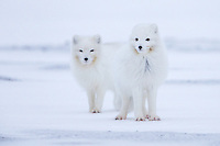 Two Arctic Foxes brave endure the chilly Arctic wind as they look for prey at dusk.