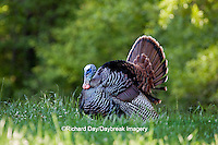 00845-07203 Eastern Wild Turkey (Meleagris gallopavo) gobbler strutting in field, Holmes Co., MS