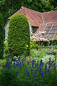 Clipped yew column and climbing rose trained on wooden battens attached to tiled roof of The Barn, with Aconitum in the foreground. Old Garden, Vann House, Surrey, mid June.