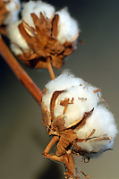 Pianta di cotone. .Cotton plant...