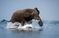 An AFRICAN ELEPHANT MOCK CHARGES as my conoe gets to close for comfort on the ZAMBEZI RIVER - ZIMBABWE
