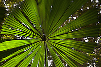 Fan Palm in the Daintree Rainforest, North Queensland, Australia