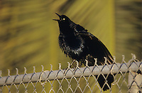 Great-tailed Grackle, Quiscalus mexicanus,male singing, New Braunfels, Texas, USA, April 2001