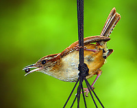 Carolina wren with bug for babies