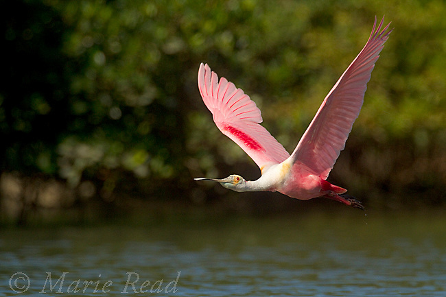 Roseate Spoonbill in flight, Tampa Bay, Florida, USA