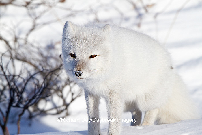 01863-01201 Arctic Fox (Alopex lagopus) in snow in winter, Churchill Wildlife Management Area, Churchill, MB Canada