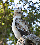 Yala National Park Sri Lanka<br /> Crested Hawk Eagle
