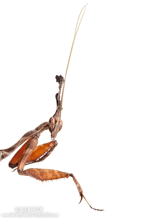 Ghost Mantis male {Phyllocrania paradoxa}, showing very long antennae. Photographed on a white background. Captive, distribution: Africa / Madagascar