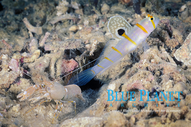 Randall's shrimp goby, Amblyeleotris randalli, & blind shrimp, Alpheus species; goby keeps lookout for shrimp, which constructs burrow used by both; Christine's Reef, Kimbe Bay, Papua New Guinea (Bismarck Sea)