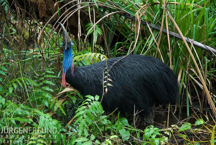 The Southern Cassowary (Casuarius casuarius) flightless bird famous in the Queensland Wet Tropics. The name cassowary is of Papuan origin. It comes from 'kasu' meaning horned and 'weri' meaning head, in reference to the casqued or helmeted head
