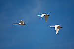 Three Tundra Swans fly over the Freezeout Wildlife Management area in Montana