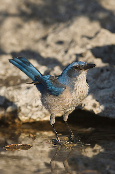 Western Scrub-Jay,  Aphelocoma californica, adult drinking, Uvalde County, Hill Country, Texas, USA, April 2006