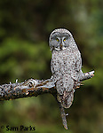 Great gray owl. Grand Teton National Park, Wyoming.