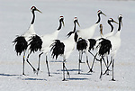 Red Crowned Crane, Grus japonensis, group, displaying, dancing, together, calling, Hokkaido Island, japanese, Asian, cranes, tancho, crested, white, black,  wilderness, wild, untamed, photography, ornithology, snow, graceful, majestic.Japan....