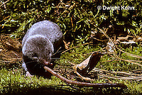 MU11-006z  Short-tailed Shrew - attacking worm prey -  Blarina brevicauda