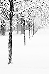 A line of trees in a snowy winter wonderland park in black and white