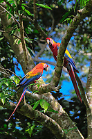 scarlet macaw, Ara macao, pair, Tambopata National Reserve, Madre de Dios Region, Tambopata Province, Peru, Amazonia