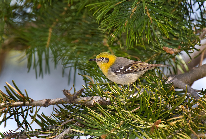 592190001 a wild female olive warbler peucedramus taeniatus perches in a douglas fir tree on mount lemmon near tucson arizona united states