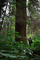 Large hemlock and spruce trees on Chichagof Island. Ground truthing expedition by Bob Christensen,Richard Carstensen, Keynon Fields and Eric Ringler, to see investigating past and proposed timber projects in the Tongass National Forest.  Looking at the past and trying to determine the effect of proposed cuts..The group downloads information that was collected from field notes, pictures and information from wireless GPS units they wear in their hats as they hike through the forest and estuaries.   They are mapping the forest, uncut, proposed cut and old logging sites to see what is there...The group camped on to Moser Island camp site and explore the surrounding area..Central Chichagof Island -- old growth forest and a hike through the alluvial forest.  Pictures of spruce trees--approximately 200 years old and a 50 foot waterfall.